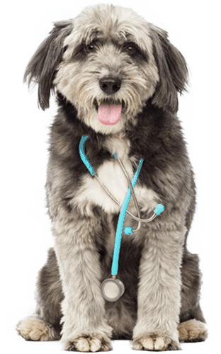 Dog with stethoscope around his neck