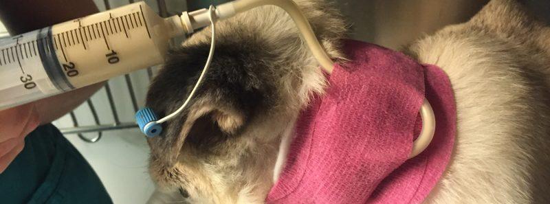 veterinary feeding tube procedure