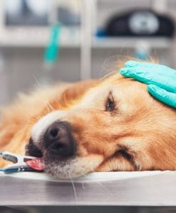 Anaesthetic Considerations Veterinary Nursing